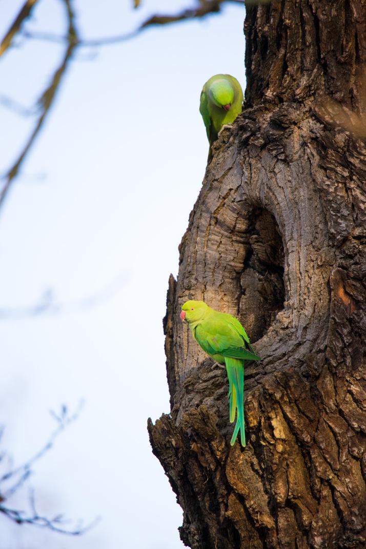 2017-12-12 -Cheeky parakeet-001