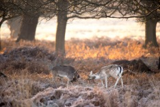 ??:??, Practising rutting for next years big show, Richmond Park, 12/12/2017