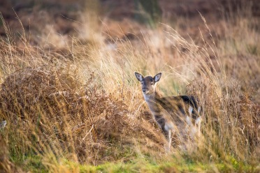 ??:??, Hiding in the grass, Richmond Park, 12/12/2017