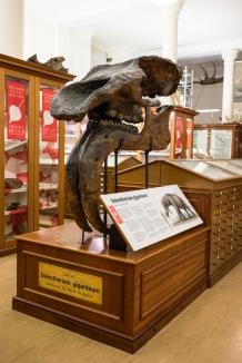 Resin cast of the skull of Deinotherium Giganteum, The Sedgwick Museum, Cambridge, 15/01/2018