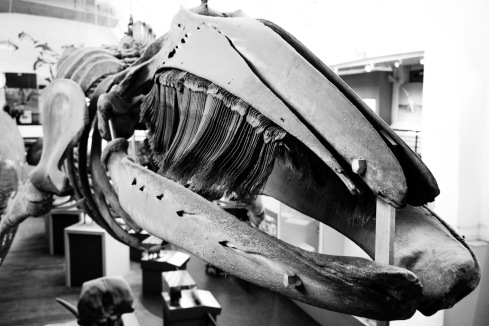 Baleen whale skeleton, Natural History Museum, 22/01/2018