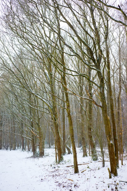 Branches lean out to catch the snow, Epsom Common, Epsom, 02/03/2018
