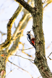 A busy woodpecker knocking chunks out of a tree branch, Epsom Common, 16/03/2018