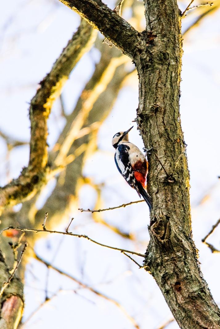 2018-03-16 - Woodpecker Epsom Common-001