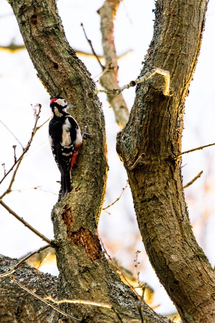 2018-03-16 - Woodpecker Epsom Common-002