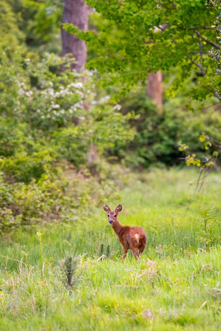 2018-05-17 - Epsom deer-005
