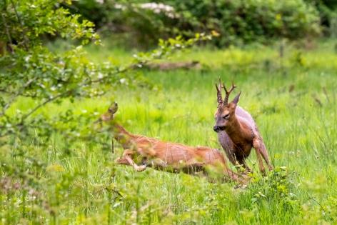 2018-05-17 - Epsom deer-006
