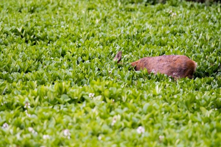 2018-05-17 - Epsom deer-013