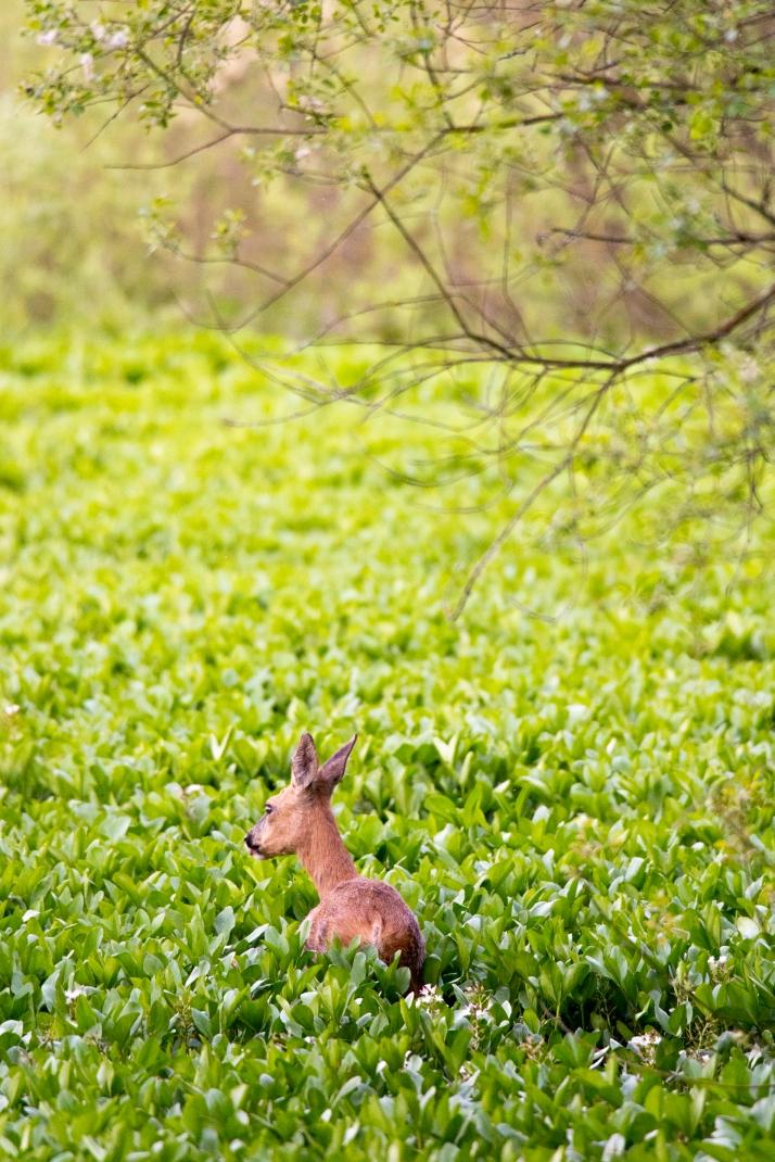2018-05-17 - Epsom deer-021