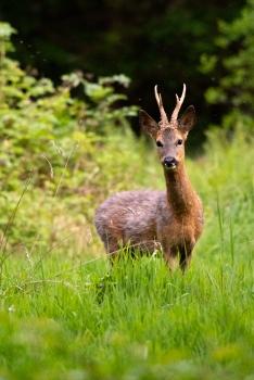 2018-05-17 - Epsom deer-026