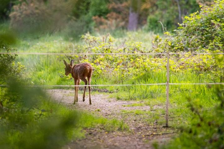 2018-05-17 - Epsom deer-002