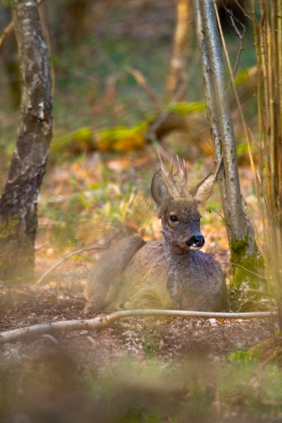 2019-04-03-deer-on-ashtead-common-001