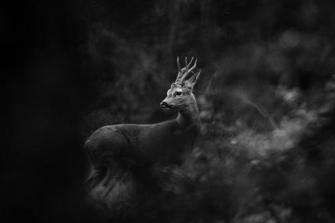 2019-05-04-deer-on-ashtead-common-005