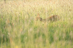 2019-05-23-deer-on-epsom-common-in-the-wheat-003